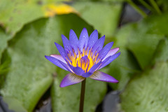 Waterlily (james.froumis) Tags: hawaii nikon gardenofeden arboretum maui d750 waterlilly