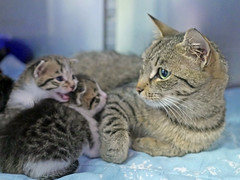 Mama & Babies_05 (AbbyB.) Tags: mtpleasantanimalshelter easthanovernj newjersey shelter pet rescue adopt petphotography shelterpet cat kitten momandkittens babies kitty