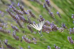 Another butterfly (dfromonteil) Tags: papillon butterfly lavender lavande fleur bokeh green vert purple violet blanc white colors couleurs