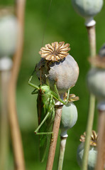 Grnes Heupferd  - Tettigonia viridissima - Great Green Bush-cricket (steffi's) Tags: tettigoniidae papaversomniferum schlafmohn tettigoniaviridissima greatgreenbushcricket grnesheupferd heugmper grossesheupferd grossesgrnesheupferd