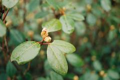 41509RLjoe718007-R3-096 (Doug J.) Tags: agfa vista 200 film 35mm canon eos rebelg 40mm f28 leaves flowers buds spring cloudy wet dof bokeh rhododendron leaf bud