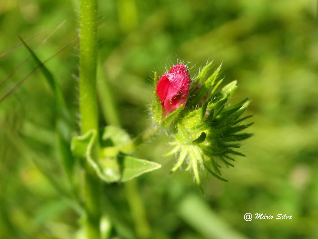Águas Frias (Chaves) - ... botão de flor campestre ...