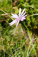 piros pozdor / purple viper's grass (debreczeniemoke) Tags: nyár summer rét meadow növény plant ritka rare védett protected virág flower rózsaszín pink pirospozdor rózsapozdor purplevipersgrass scorzonerapurpureavarrosea scorzonerarosea podospermumpurpureum violetteschwarzwürzel purpurschwarzwürzel roteschwarzwürzel rotblumigeschwarzwürzel scorsonèrepourpre scorţoneră salsifi salatădeiarnă fészekvirágzatúak asterales őszirózsafélék asteraceae gutinhegység munţiigutin olympusem5
