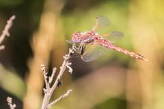 An unidentified dragonfly (satoshikom) Tags: dragonfly campbell losgatos losgatoscreektrail canoneos60d canonef100400mmf4556lisiiusm