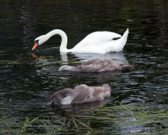 IMG_9736 (EadaoinFlynn) Tags: ireland maynooth kildare birds swans ducks wildlife nature canal water