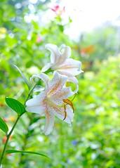 Lilium 'Salmon Star' (myu-myu) Tags: nature flower lilium lily liliumsalmonstar mygarden    japan nikon d800 voigtlandernokton58mmf14slii