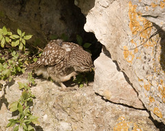 Little Owl (chitsngiggles) Tags: portlandbill nature wildlife bird littleowl owl owls