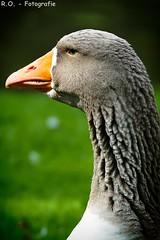 Gans / Goose (R.O. - Fotografie) Tags: bird up animal closeup lumix close bokeh outdoor bad wiese goose gans panasonic fz 1000 dmc nahaufnahme tier vogel kurpark driburg fz1000 dmcfz1000
