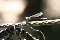Fort Worth 7-17-2016 417 (chad1380) Tags: macro nature animal animals closeup insect zoo dragonfly