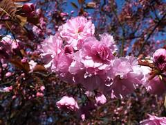 Cherry Blossom (Waterford_Man) Tags: royalgreenwich cherryblossom greenwichpark trees gardens park london