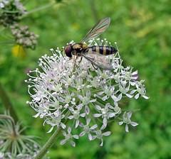 Say Hi To A Kilmarnock Fly (Bricheno) Tags: ayrshire kilmarnock deancastle deancastlecountrypark bricheno macro hoverfly scotland escocia schottland cosse scozia esccia szkocja scoia
