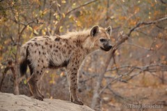Young Spotted Hyena (Crocuta crocuta) (bush_cow) Tags: hyena spottedhyena africa animal africanwildlife autumncolours southafrica wildlife wildlifephotography wilderness naturephotography nature ngc canon 70d 55250mmstm safari