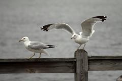 Seagulls (BenG94) Tags: seagull seagulls rhinelander wisconsin canon 60d canon60d lake pier boomlake