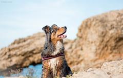 Hyona (Maliss Cogrel) Tags: espagne dog model bleu merle australian australien sheperd berger femelle extrieur paysage plage roche hyona
