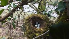 IMG_1774 (JMarshall78) Tags: nest nests ornithology birds wildlife devon