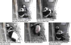 2016_08-02zm1 (gkoo19681) Tags: beibei meixiang treattime sugarcane yummyapple sharingiscaring evilcarrot stealing badmama ccncby nationalzoo