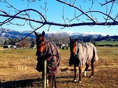Dressed for winter (craigmeechin) Tags: waitunacanterburynewzealand horses winter mountains veryinteresting mostinteresting interesting interestingness beautiful animal farmland
