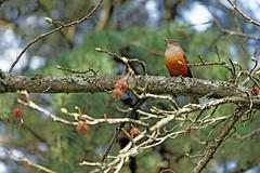 IMG_3045 A zorzal on a branch of a tree (Rodolfo Frino) Tags: zorzal ave pajaro argentinianbird pajaroargentino beautifulbird mediumsizebird friendlybird pararoamigable singing singingbird beautifulsinging rodolfofrino