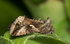Gamma-uil_Autographa gamma (bdeclerc) Tags: macro vlinders butterflies lepidoptera