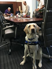 Calvin sits by the table during an important board meeting at the Living Legacy Foundation office. (hero dogs) Tags: dog labrador cute therapydog servicedog