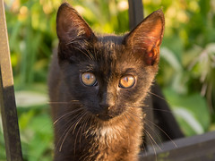 Polish kitten (bertrandwaridel) Tags: 2016 goledzinow july poland summer cat kitten polishcat goldzinw wojewdztwodolnolskie pologne