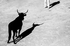Bull Versus Man (Cornelli2010) Tags: canonef70200mm14l canoneos5dmarkiii animal bw blackandwhite bull bullfighting camargue camarguestyle contrast france frankreich provence razeteur schatten schwarzweis shadows stierkampf tradition lacoursecamarguaise arles
