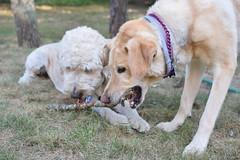 DSC_0181 (ghoulia) Tags: goldendoodle goldenretriever poodle labradoodle labrador rovercom dogvacay