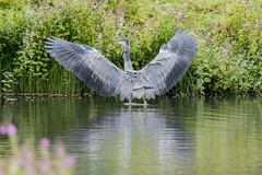 Flasher (Yvonne Alderson) Tags: heron wading pond refelction