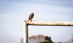 Crossbar guard. (Pablin79) Tags: sky landscape portrait bird nature light outdoor animal colors little wildlife one iron outdoors wild daylight afternoon raptor misiones lechuza eyescontact crossbar posadas no person athenecunicularia burrowingowl