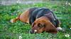 I get bored! (Jam Photography & Digital Art) Tags: dog sun sunlight nature animal prom bassethound liara