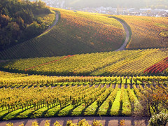 Curves in Autumn Vineyard (Habub3) Tags: autumn canon germany deutschland vineyard herbst powershot g12 2014 weinberge habub3
