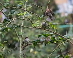 Sparrows (s.austinukit) Tags: birds nikon italia uccelli sparrows passeri