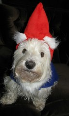 "12/12A ~ ""Christmas Elf"" (ellenc995) Tags: riley westie westhighlandwhiteterrier 12monthsfordogs14 elf christmas thesunshinegroup coth therubyphotographer coth5 fantasticnature alittlebeauty platinumheartaward challengeclub pet500 pet100 supershot 100commentgroup"
