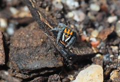 Maratus purcellae (beeater) Tags: roundthreeandspiders