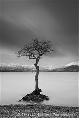 tree (Camillo Berenos) Tags: winter tree bay scotland submerged lochlomond lonetree flooded 2014 trossachsnationalpark millarochybay