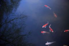 Coloredcarp (20EURO) Tags: blue red white lake fish swim outside japanese pond flock swamp carp   watersurface  freshwaterfish coloredcarp        lakesurface   canoneos5dmark dmiration