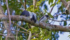 Ivory-backed Woodswallow,   Artamus monachus,     5496, 5655, Sulawesi endemic, (Graham Ekins) Tags: indonesia 5496 5655 artamusmonachus canon1dmkiv grahamekins sulawesiendemic canon300mmf28iii ivorybackedwoodswallow