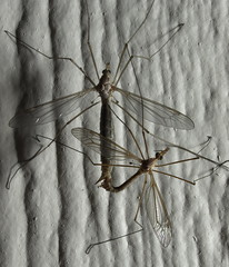 Noturnal dalliance (Distraction Limited) Tags: arizona tucson insects flies flipit mating copulation tipula outdoorsex craneflies dembflipit earthnaturelife
