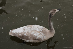 winter color. (shig.) Tags: snowflake winter white lake snow bird nature birds canon snowflakes eos swan pond snowy gray lakeside swans 70d
