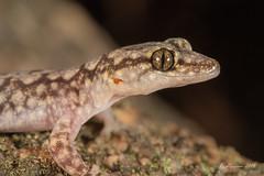 Lesueur's Velvet Gecko (R. Francis) Tags: qld queensland girraweennationalpark stanthorpe wallangarra ballandean lesueursvelvetgecko ryanfrancis amalosialesueurii ryanfrancisphotography