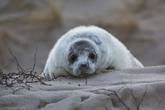 Baby seal on Helgoland (Thomas Frejek) Tags: winter baby jahreszeiten halichoerusgrypus greyseal helgoland 2015 kegelrobbe