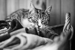 Happy New Year! (iShootCandid) Tags: bw cat 50mm bath kitten purr towels meow purrfect happynewyear canon6d ishootcandid jakubostrowski