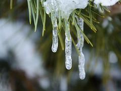 Winter (bertrandwaridel) Tags: winter snow tree ice switzerland suisse icicle february vaud 2015 echallens