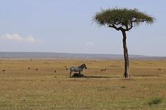 2015 kenyaIMG_2291.jpg (urban genie) Tags: africa kenya safari masai masaimara wildanimals urbangenie