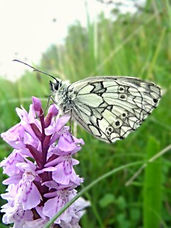 Marbled White (Melanargia galathea) [Explored]