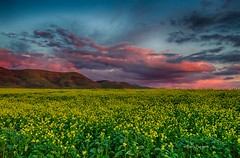 Mustard Fields (Beth Sargent) Tags: droh dailyrayofhope sunsetfieldshillsskycloudscalifornialandscape