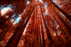 Muir in Red (eCHstigma) Tags: trees nature forest landscape ir nikon marin trails infrared sfbayarea redwood sequoia millvalley falsecolor d5200 tokinaultrawide