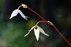 /Heliamphora nutans (nobuflickr) Tags: flower nature japan kyoto   thekyotobotanicalgarden  heliamphoranutans awesomeblossoms   20150213dsc03605
