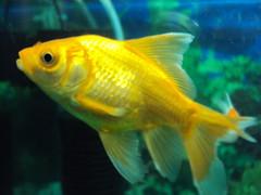 DSC00764 (Dr.SUDHIR's SHOTS) Tags: red india fish marine underwater bellevue pune manju sudhir akshat brijesh wakad