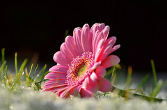Seasons Collide (Tammy Alba) Tags: pink winter snow black flower macro green nature up grass spring focus close bokeh